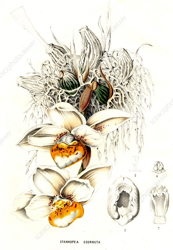 Stanhopea ecornuta, illustration