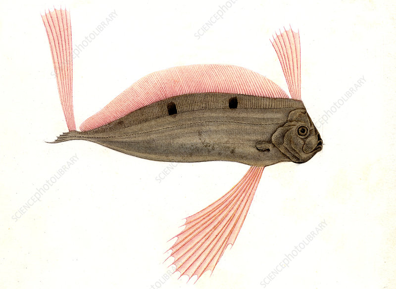 Ribbonfish, 19th Century illustration