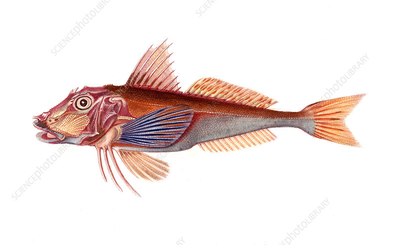 Gurnard, 19th Century illustration