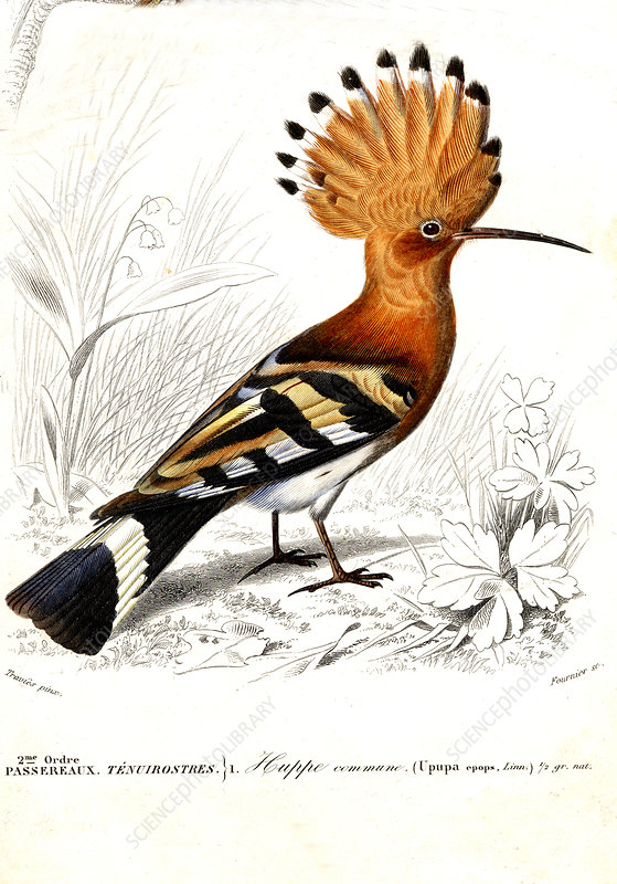 Hoopoe, 19th Century illustration