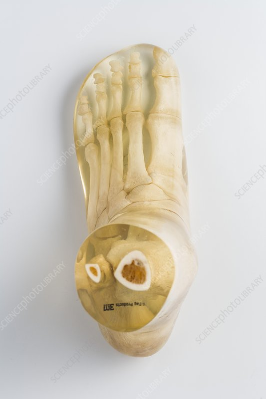 Foot and ankle bones in resin