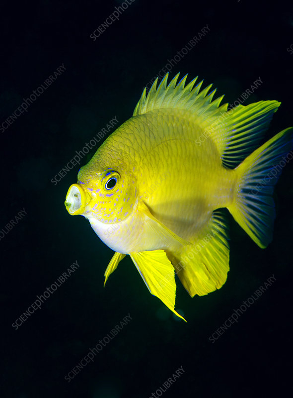 Golden damselfish