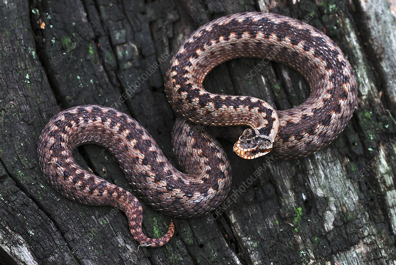 Adder basking on tree stump