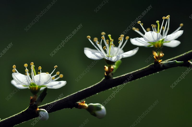 Blackthorn (Prunus spinosa) in flower