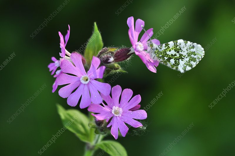 Orange tip butterfly on campion flowers