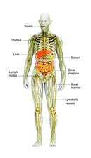 Human immune system, illustration