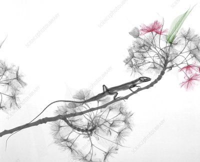 Lizard and Prunus flowers, X-ray