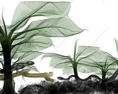 Reptiles and banana leaves, X-ray