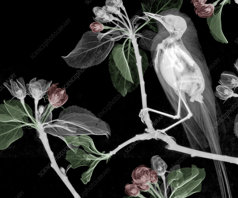 Wagtail in an apple tree, X-ray