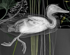Duck, X-ray