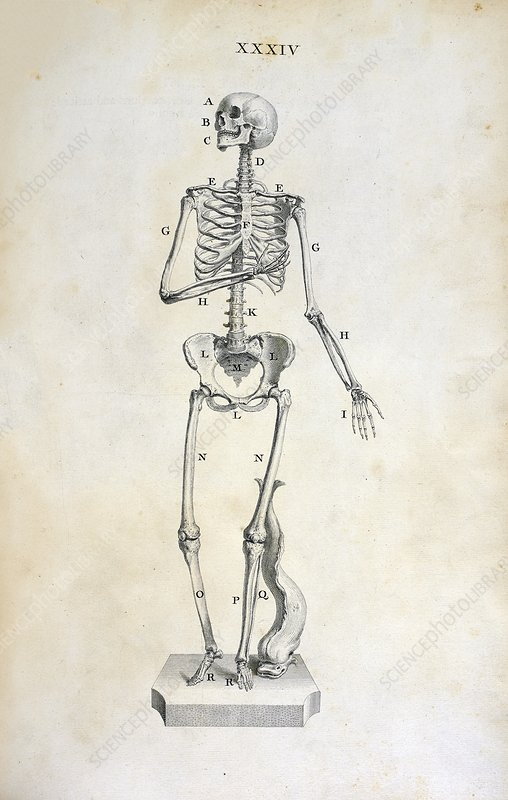 Female skeleton, 18th century