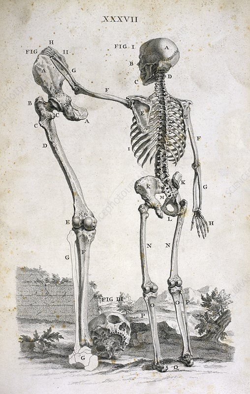 Skeleton and giant's leg, 18th century