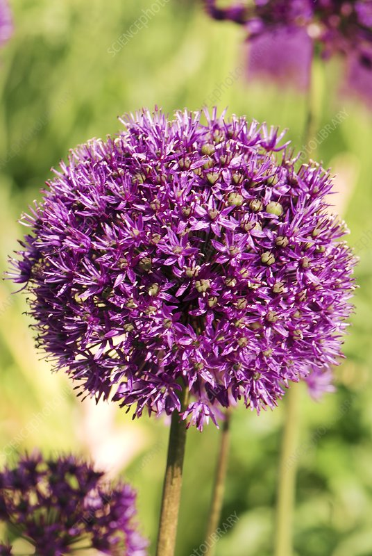 Allium hollandicum 'Purple Sensation'