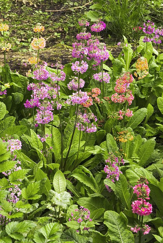 Primula 'Harlow Carr Hybrids' flowers