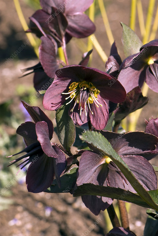 Helleborus 'Anna's Red' flower