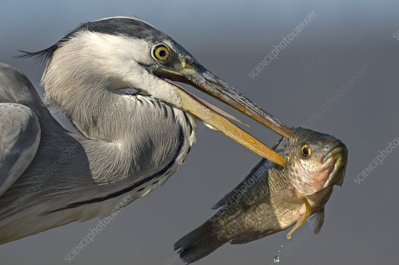 Grey Heron with fish in its bill