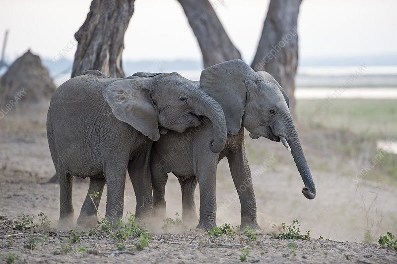 Young African elephants at play