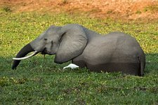 African Elephant with Cattle Egret