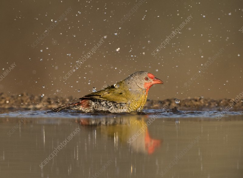 Green-winged Pytilia bathing