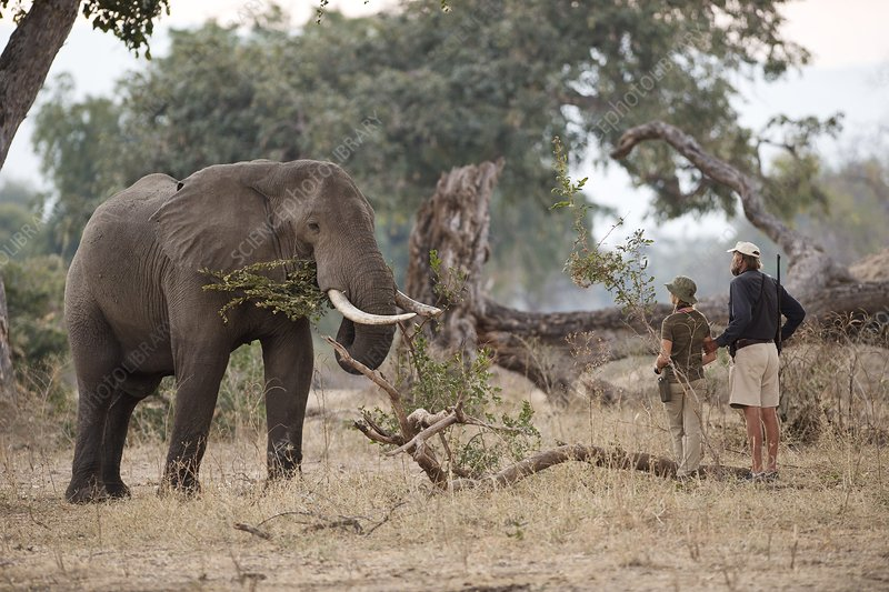 African Elephant with Tourist and Guide