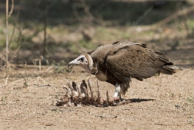 Hooded Vulture with carcass