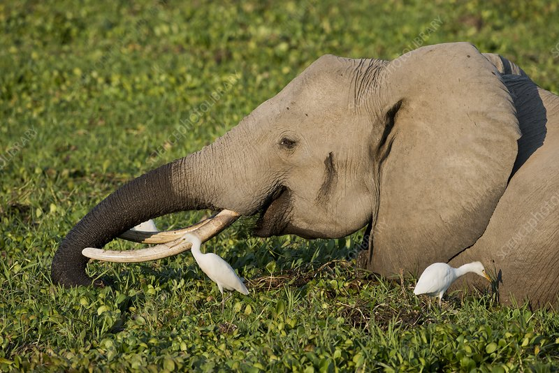 African Elephant feeding alongside Egrets