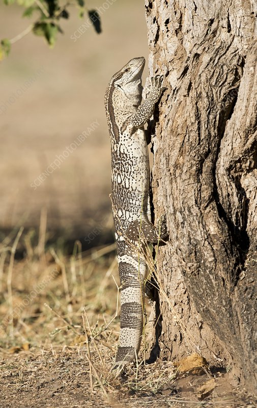 Rock monitor lizard climbing a tree