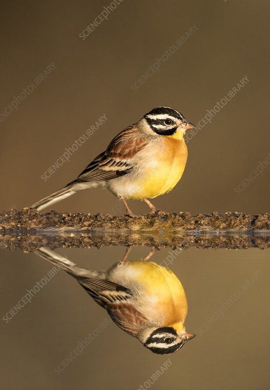 Golden-Breasted Bunting with reflection