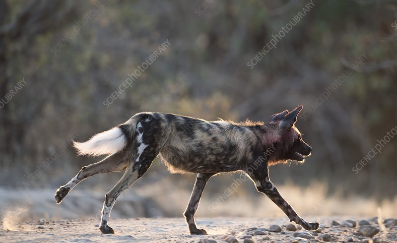 Africa hunting dog on the run