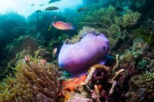 Pink anemonefish with magnificent anemone