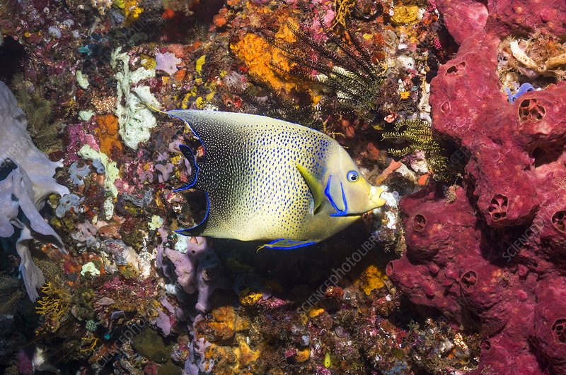 Semicircle angelfish on a reef