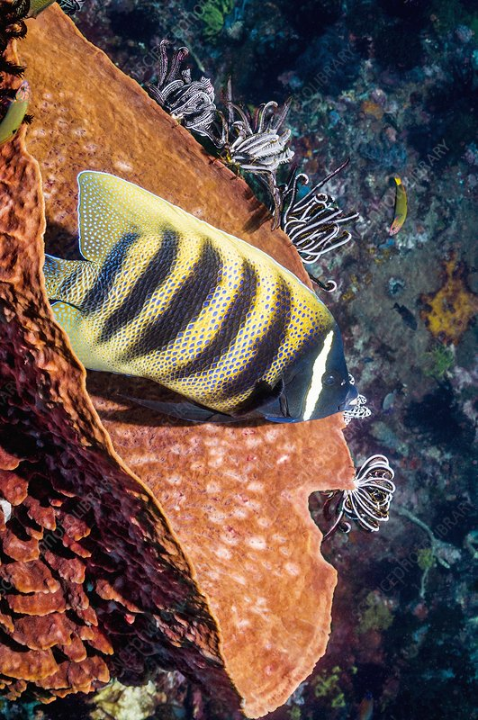 Sixbar angelfish on a reef