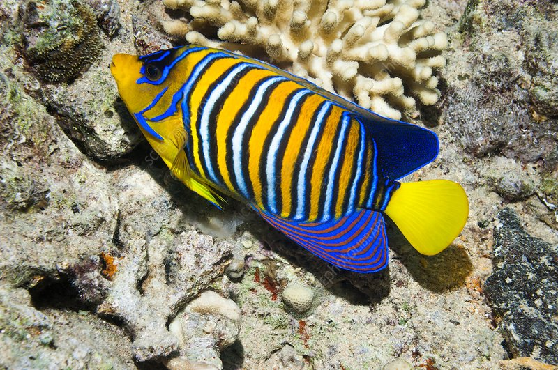 Regal angelfish on a reef