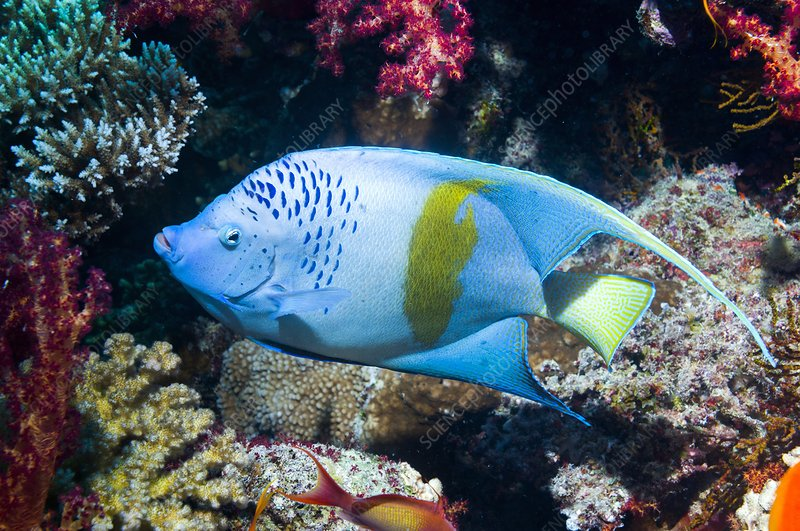 Yellowbar angelfish on a reef