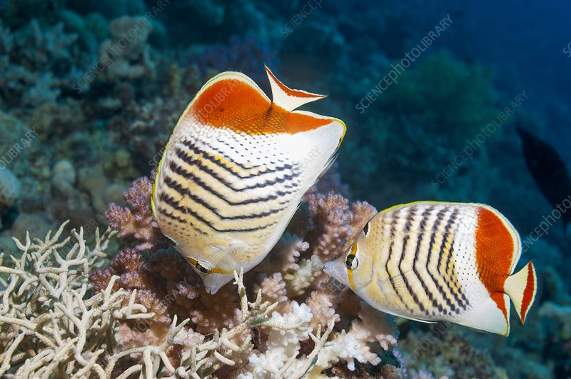 Eritrean butterflyfish on a reef