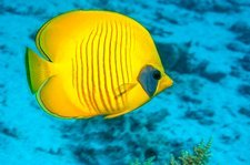 Golden butterflyfish over a reef