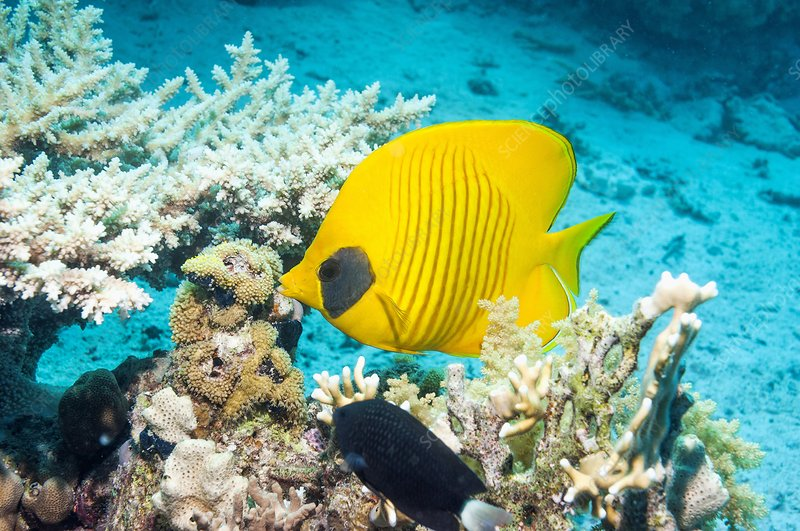 Golden butterflyfish on a reef