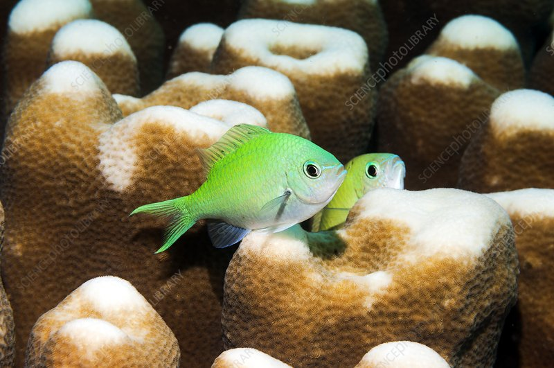 Blue-green chromis on coral