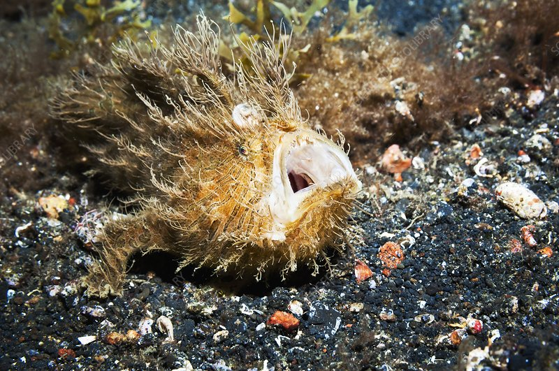 Striated frogfish on the seabed