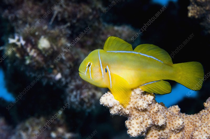 Poison goby on coral