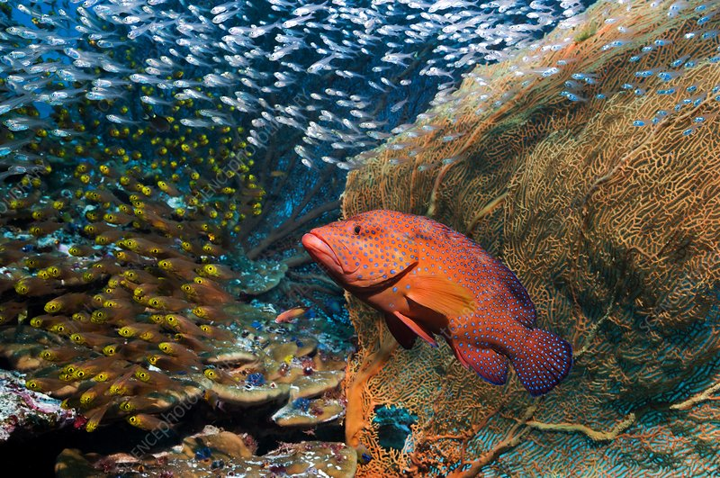 Grouper and sweepers on a reef