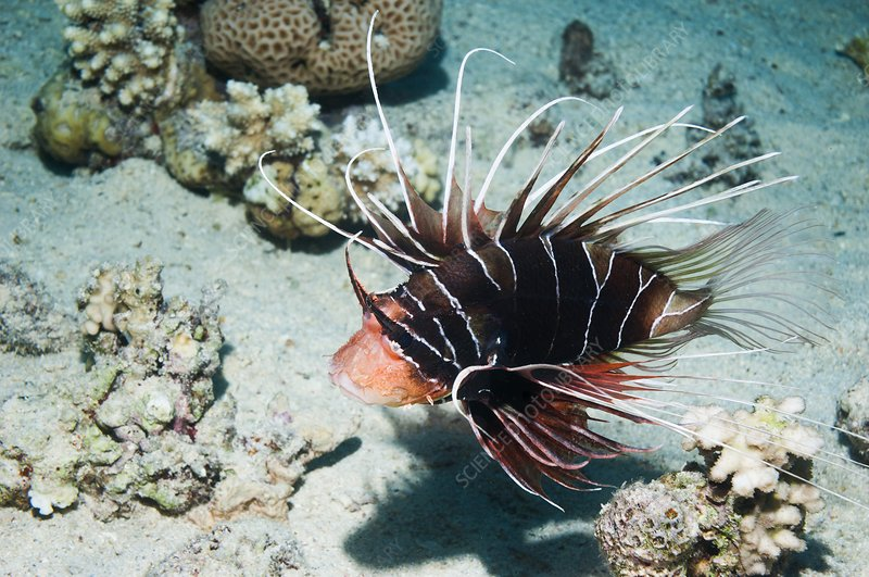 Clearfin lionfish by a reef
