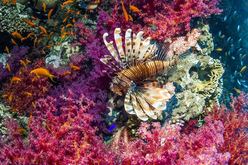 Common lionfish hunting a reef