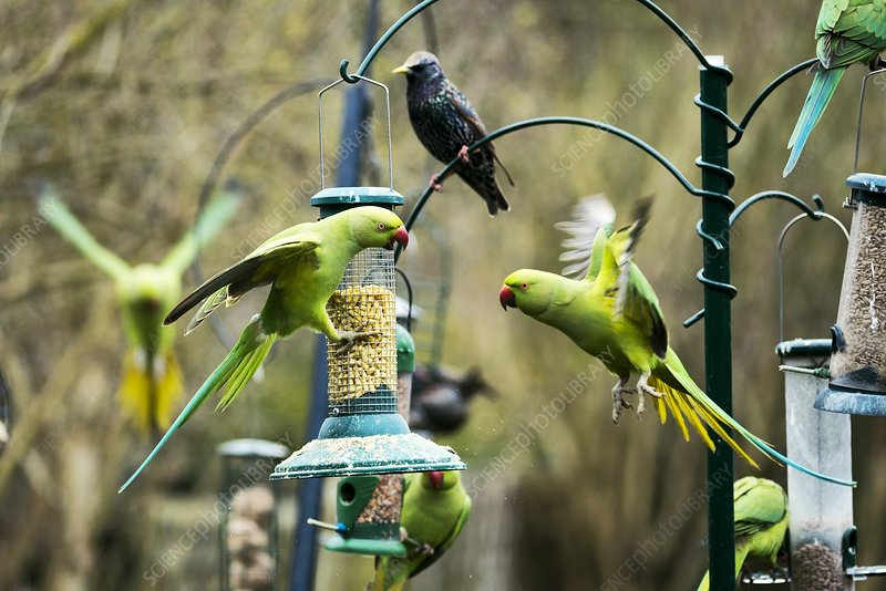 Ring-necked parakeets, UK
