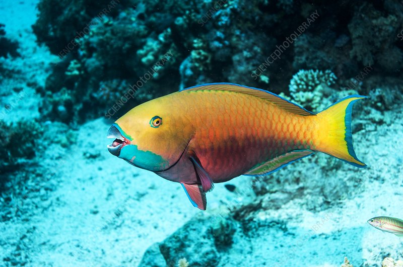 Steepheaded parrotfish by a reef
