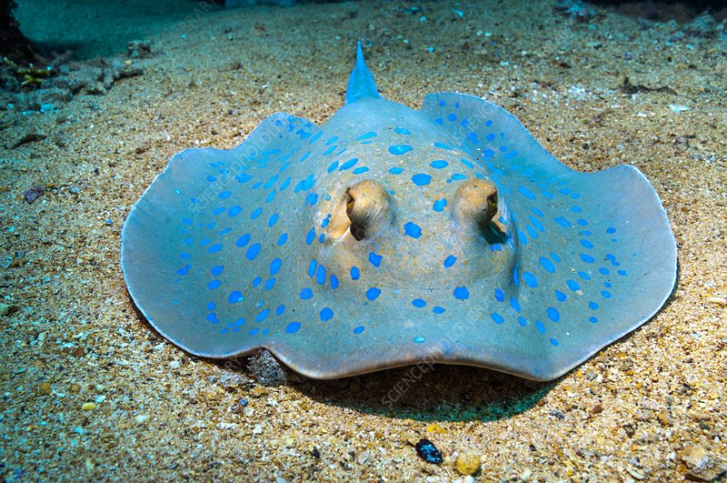 Bluespotted ribbontail ray on the seabed