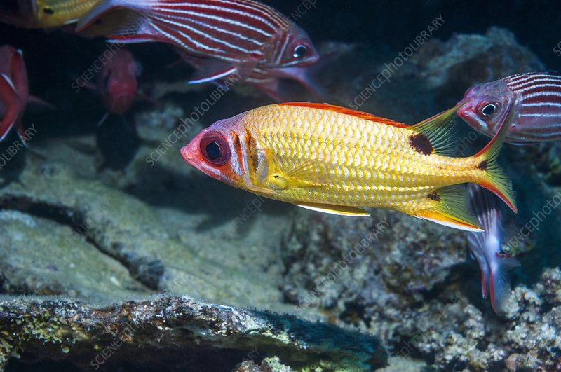 Blackspot squirrelfish on a reef
