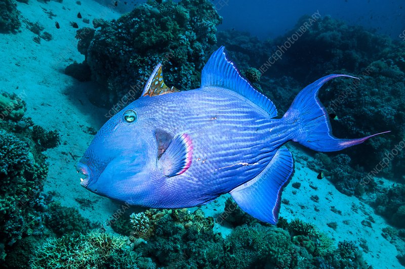 Blue triggerfish on a reef
