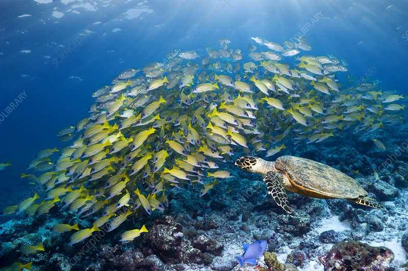 Hawksbill turtle and blueline snappers