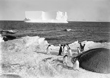 Adelie penguins in Antarctica, 1911